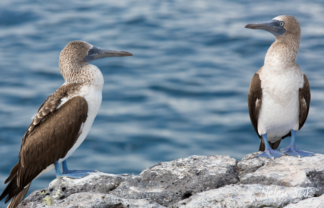 blue footed boobies, galapagos birds