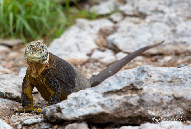 galapagos wildlife, land iguana