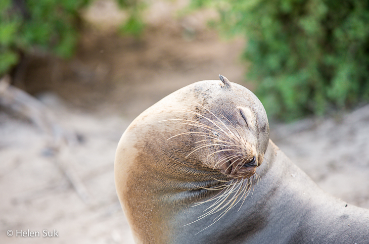sea lion, galapagos wildlife