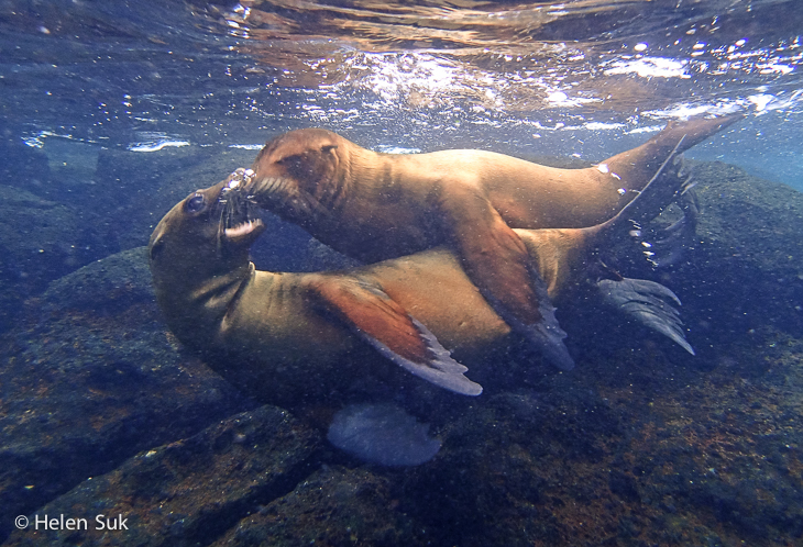 sea lions playing, snorkeling with galapagos sea lions