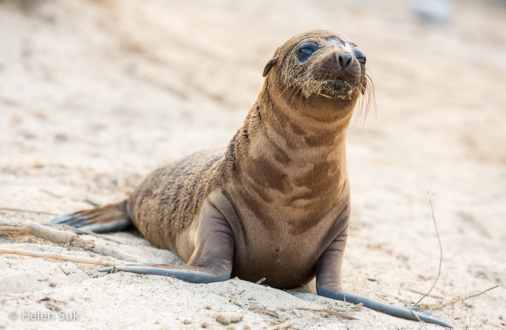 young sea lion galapagos