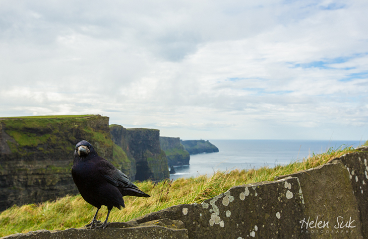 travel ireland, cliffs of moher, bird