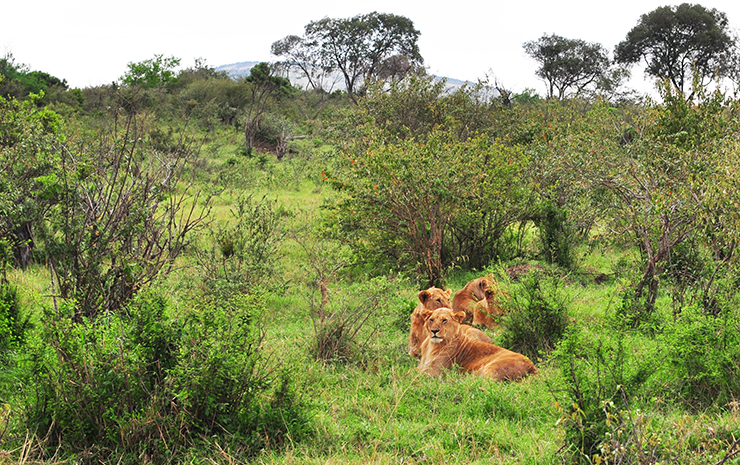 a pride of lions rest in the bushes of the maasai mara kenya