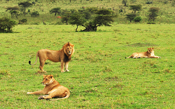 lions rest in the maasai mara game reserve kenya