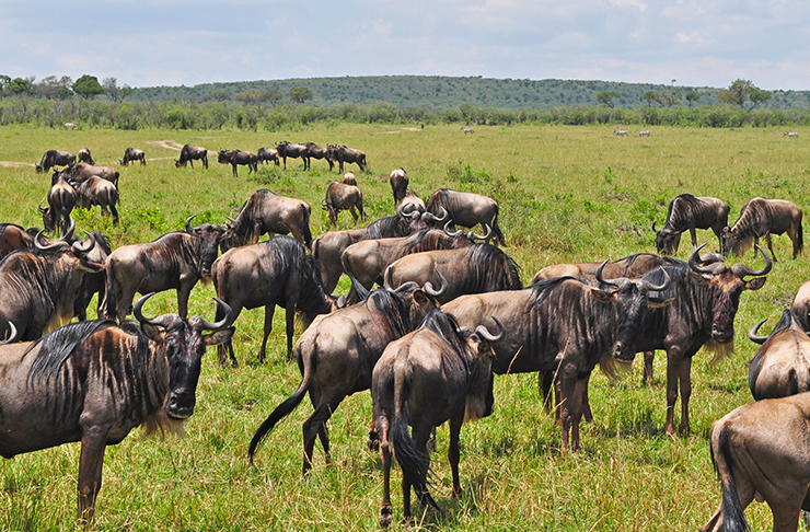 wildebeest great migration in the masai mara national reserve kenya