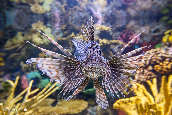 lionfish at ripleys aquarium toronto