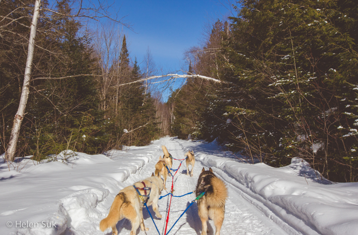 pack of dogs pulling a sled in haliburton ontario