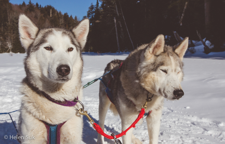 siberian huskies take a break dog sledding in haliburton
