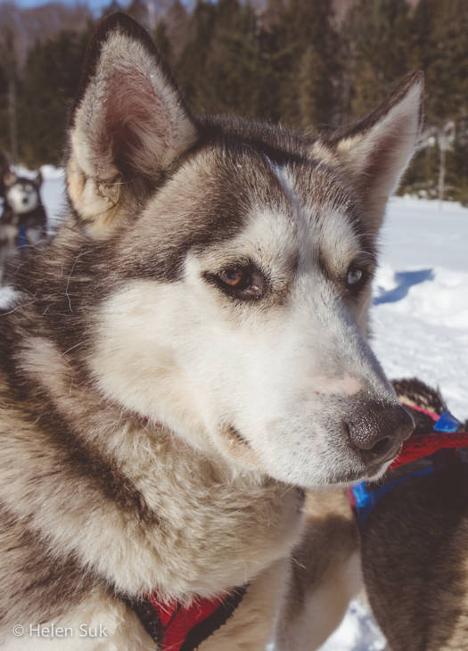 siberian husky rests during a winterdance dogsled tour