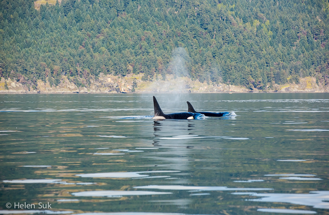 whale watching victoria bc, eagle wing tours