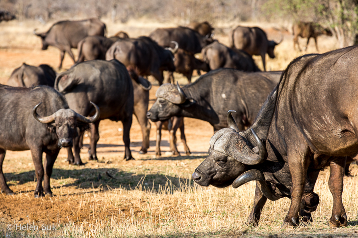 herd of cape buffalos in timbavati south africa