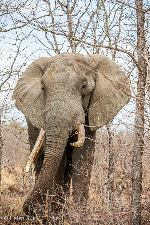 elephant in timbavati game reserve south africa
