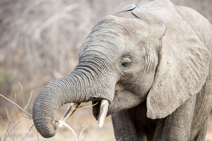 baby elephant in timbavati south africa