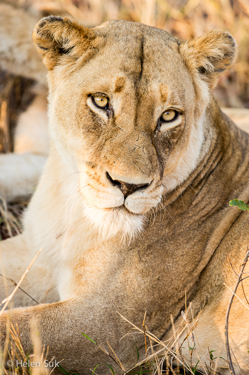 lion sighting on a south african safari in timbavati game reserve