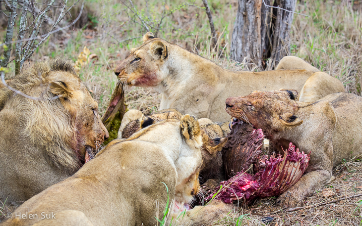 lions feeding in sabi sands private game reserve