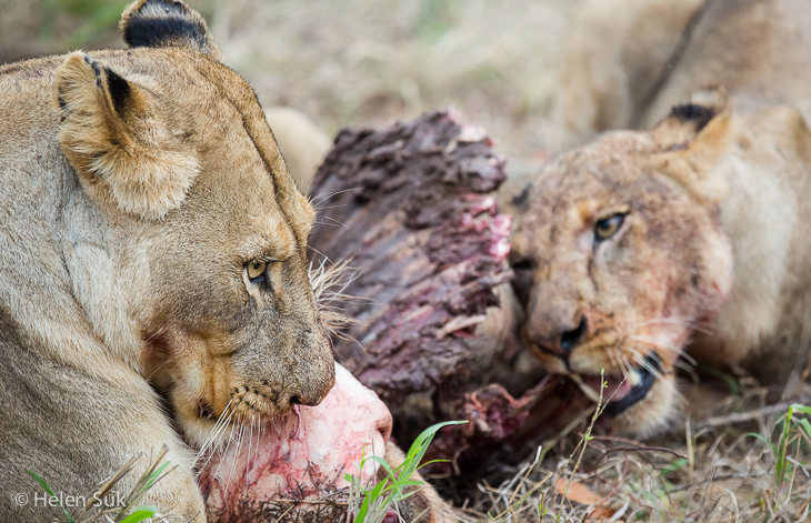 feeding lions in sabi sands game reserve south africa