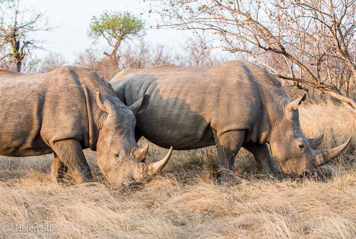 sighting of a herd of white rhinos while on a south african safari in timbavati private game reserve