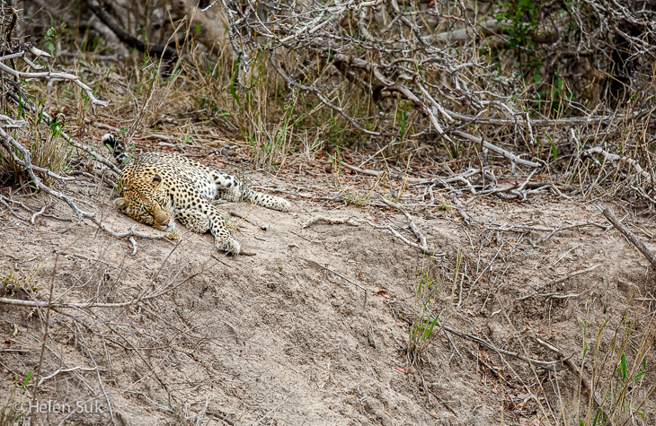 resting leopard in sabi sands game reserve in south africa