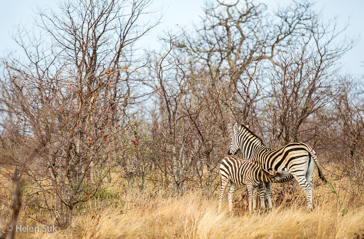 zebras on a south african safari in timbavati game reserve