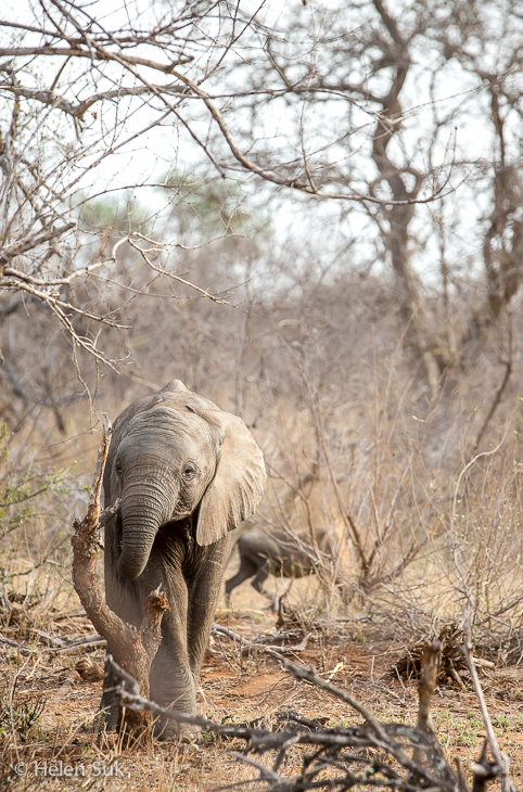 baby elephant in timbavati game reserve south africa
