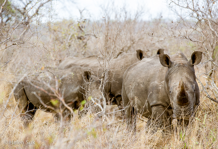 herd of white rhinos in timbavati game reserve south africa