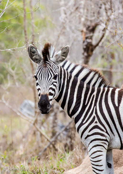 zebra in sabi sands private game reserve south africa