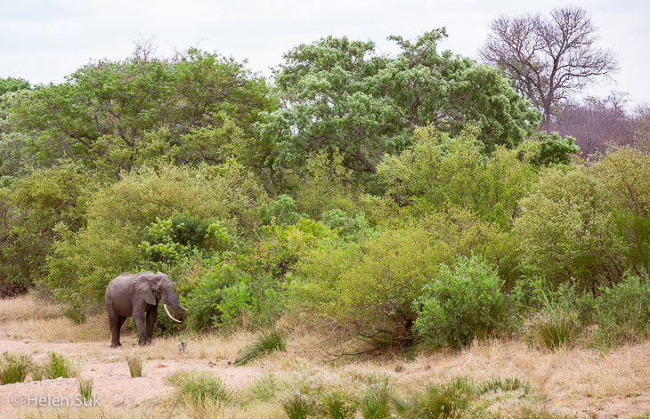 elephant in the distance at motswari private game reserve