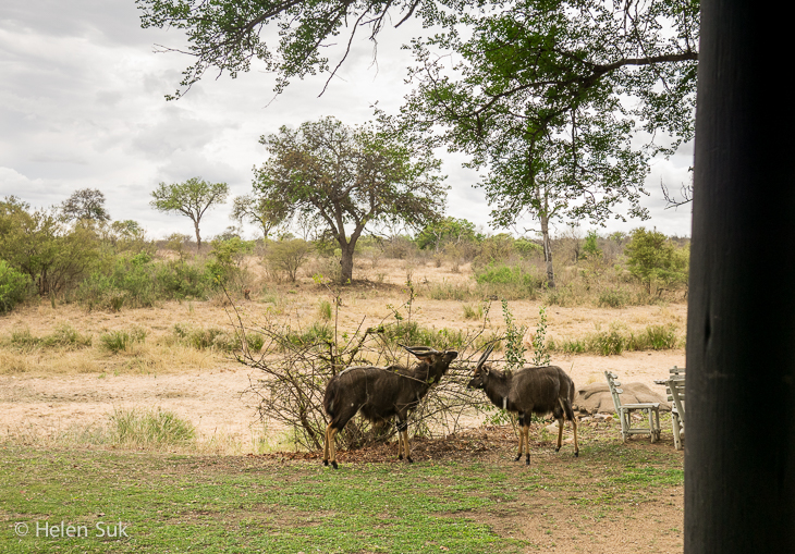 nyalas at motswari game lodge