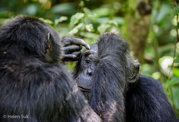 pictures of chimpanzees, kibale forest uganda
