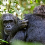 In Search of Primates: Chimpanzee Trekking in Uganda