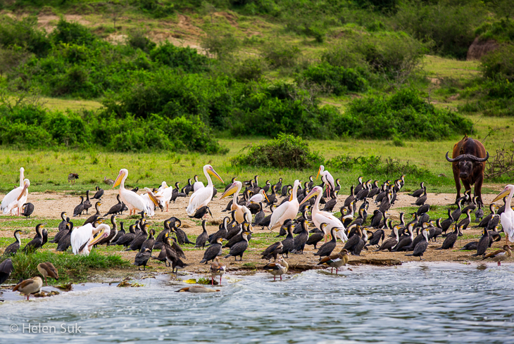 wildlife photography, kazinga channel uganda