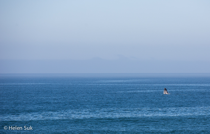 southern right whale breaching in hermanus