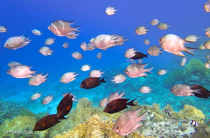 snorkeling aqaba, tropical fish, red sea