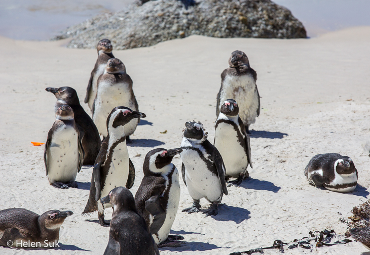 cute african penguins basking in the sun at boulders beach south africa