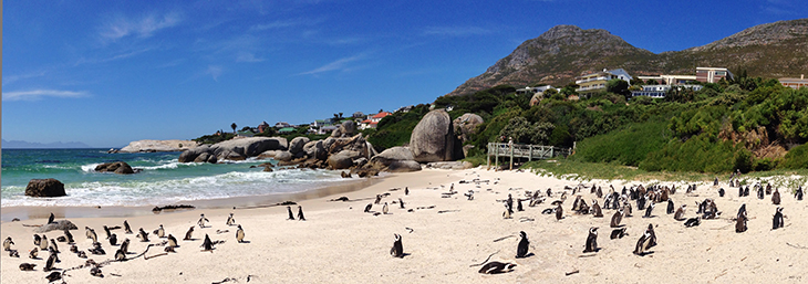 panorama of adorable african penguins on boulders beach south africa