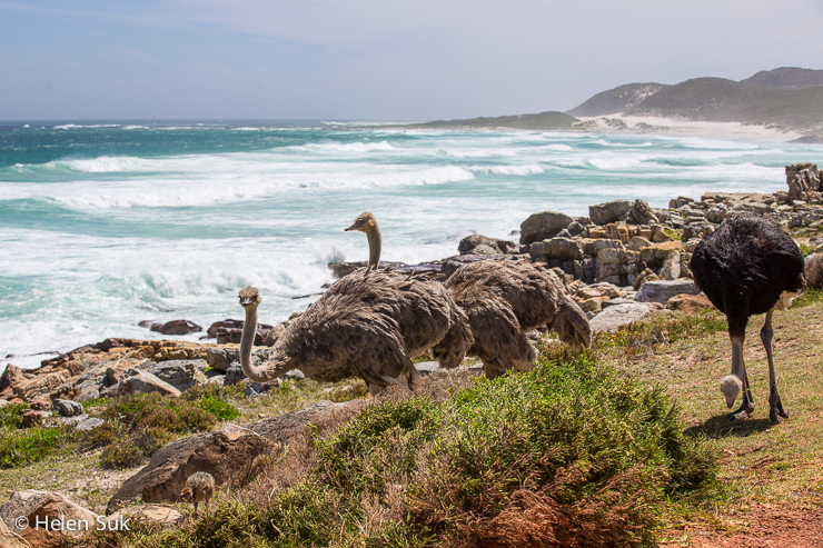 a family of ostriches hanging out on the edge of the ocean at the cape of good hope south africa