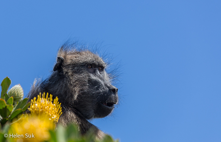 a chacma baboon at the cape of good hope south africa
