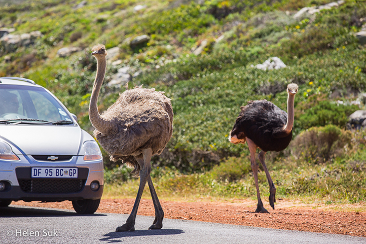 ostriches crossing the road at cape of good hope south africa