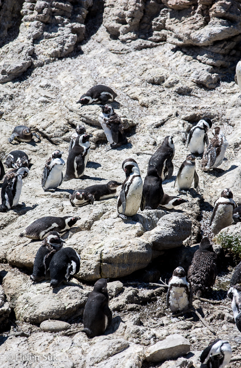 african penguins at stony point betty's bay