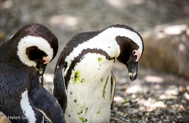 pair of penguins at boulders beach south africa