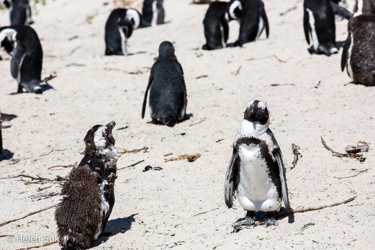cape town penguins resting on boulders beach south africa
