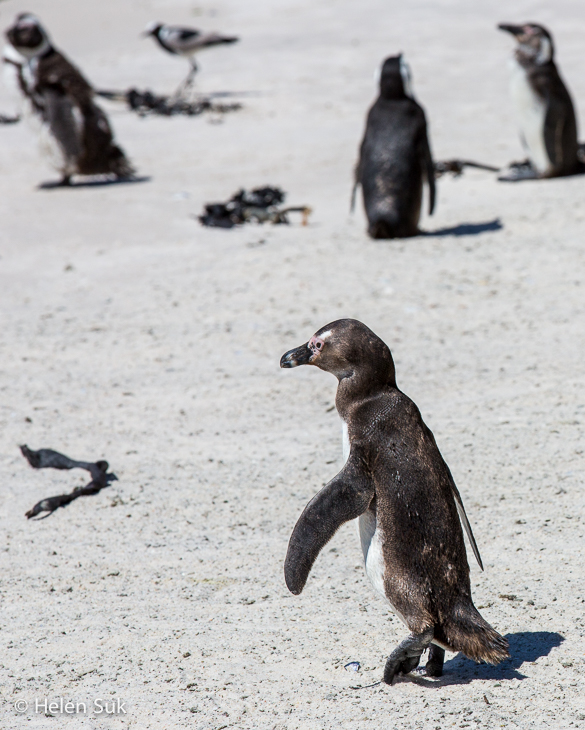 waddling penguin at boulders beach south africa