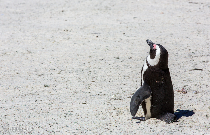 little african penguin sunbathing on boulders beach south africa