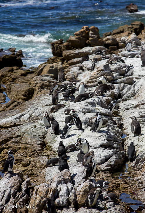 colony of sunbathing african penguins at stony point betty's bay