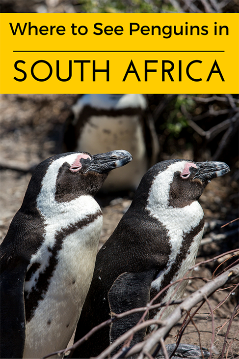 where to see penguins in south africa