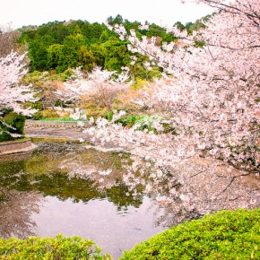 The Meaning of Cherry Blossoms in Japan: Life, Death and Renewal