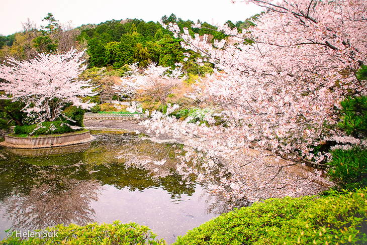 pictures of japan cherry blossoms