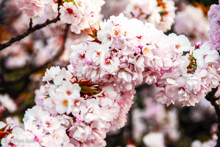 japanese sakura flowers in full bloom