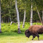 Experience a Canadian Safari While Camping in St-Felicien