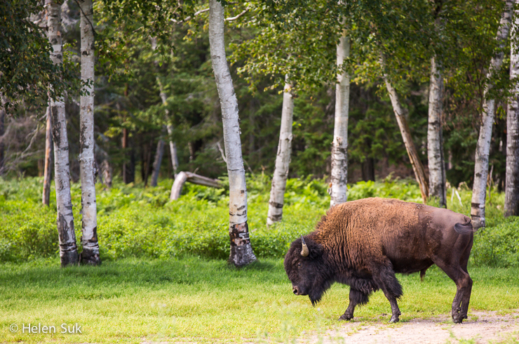 american bison in its natural habitat at the zoo saint felicien